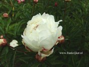 Paeonia 'Boule de Neige'