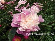 Paeonia 'Mme. de Vatry'