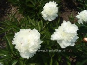 Paeonia 'Mme. de Verneville'