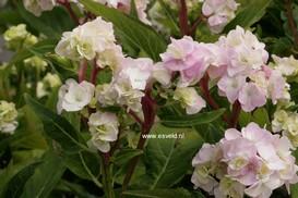 Hydrangea macrophylla 'Zhuni-hito'