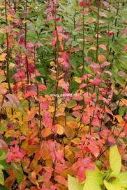 Parrotia persica 'JLPN01' (PERSIAN SPIRE)