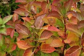Hydrangea macrophylla 'Universal'