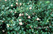 Arctostaphylos uva-ursi 'Snow Cap'