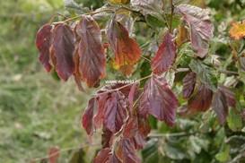 Parrotia persica 'Biltmore'