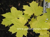 Acer platanoides 'Prigo' (PRINCETON GOLD)