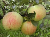 Malus domestica 'James Grieve'