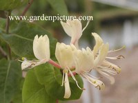 Lonicera caprifolium 'Inga'