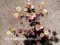 Lophomyrtus ralphii 'Kathryn'