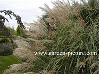 plantenwinkel miscanthus. Black Bedroom Furniture Sets. Home Design Ideas