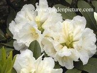 Rhododendron 'Spiegelei'