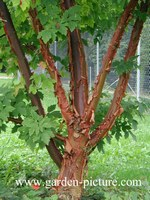 Acer griseum
