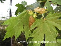 Acer rubrum 'Bowhall'