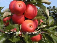 Malus domestica 'Elstar'