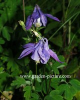 Aquilegia alpina
