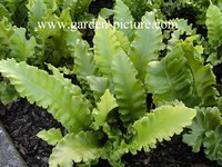 Asplenium