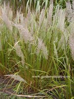 Calamagrostis brachytricha