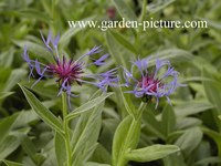 Centaurea montana