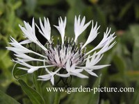 Centaurea montana 'Alba'