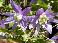 Clematis alpina