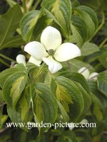 Cornus kousa 'Gold Star'