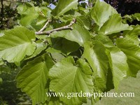 Corylus colurna