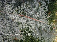 Cupressus