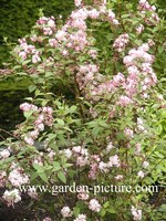 Deutzia elegantissima 'Rosealind'