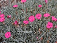 Dianthus gratianopolitanus 'Badenia'