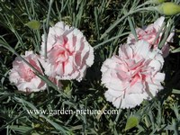 Dianthus 'Doris'