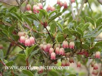 Enkianthus campanulatus 'Victoria'