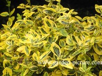 Euonymus fortunei 'Emerald & Gold'