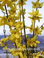 Forsythia intermedia 'Courtalyn' (WEEKEND)
