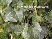 Hedera