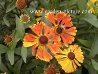 Helenium 'Waltraut'