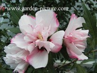 Hibiscus syriacus 'Lady Stanley'