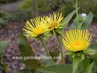 Inula helenium