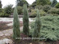 Juniperus
