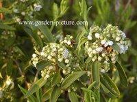 Kalmia angustifolia 'Candida'