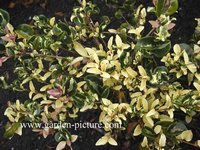 Ligustrum japonicum 'Silver Curls'