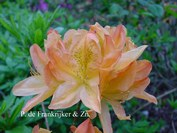 Azalea 'Dr. Reichenbach'