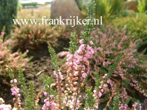 Calluna vulgaris 'Red Favorit'