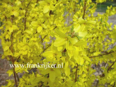 Forsythia intermedia 'Flojor' (MINIGOLD)