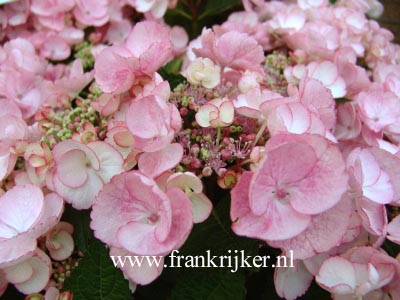 Hydrangea macrophylla 'Sheila'