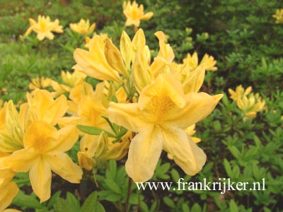 Azalea 'Directeur Moerlands'
