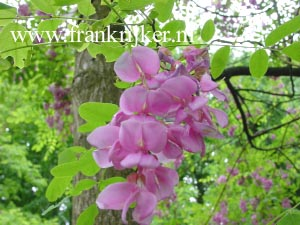 Robinia margarette 'Pink Cascade' (CASQUE ROUGE)