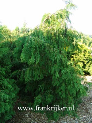Thuja occidentalis 'Pendula'