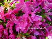 Azalea 'Diamant Paars'