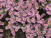Erica carnea 'James Backhouse'
