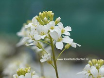 Arabis procurrens 'Neuschnee'