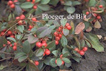 Gaultheria procumbens giftig